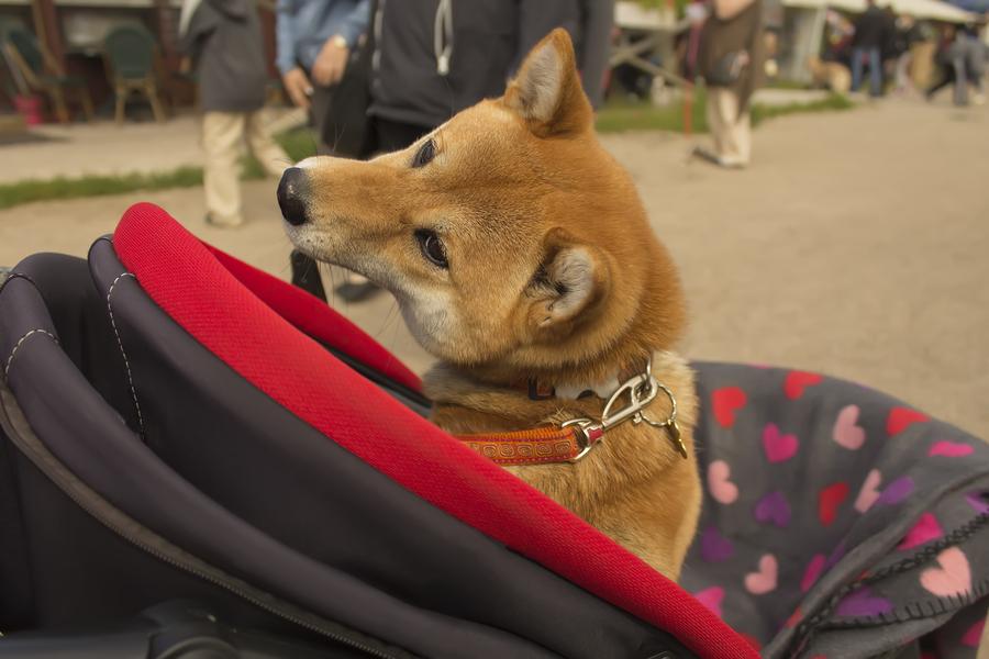 Hundewagen - Buggy für den Hund