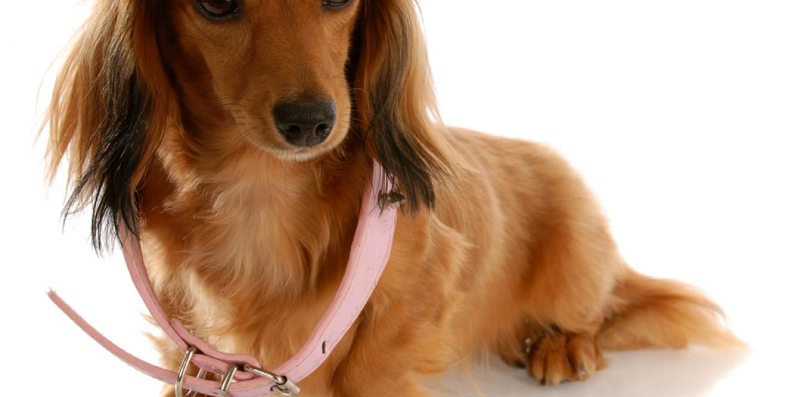 Leuchthalsband für Hunde – Besser gesehen werden